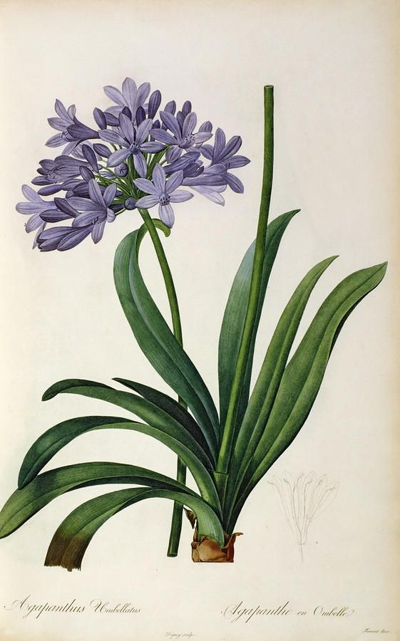Illustration, Flower, Drawing